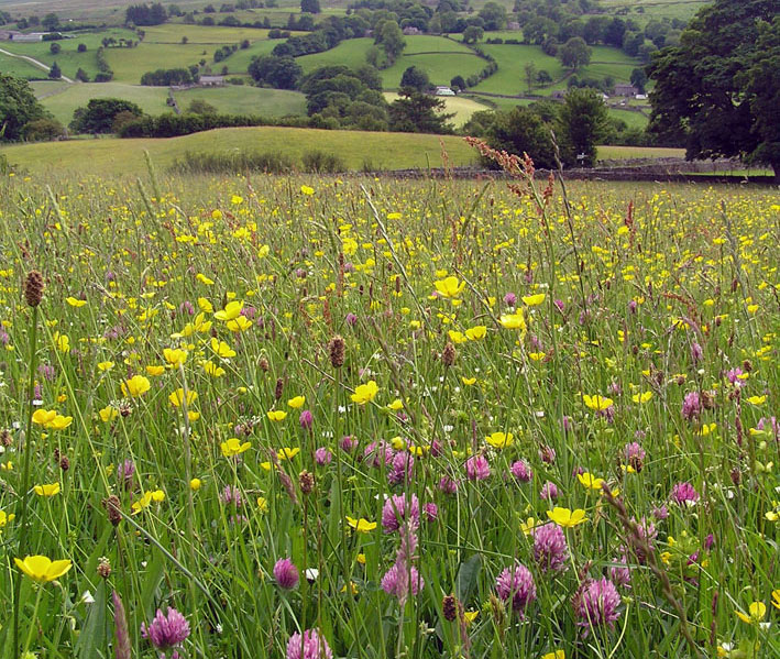 Wildflowers in Dentdale Meadows in Yorkshire Dales National Park